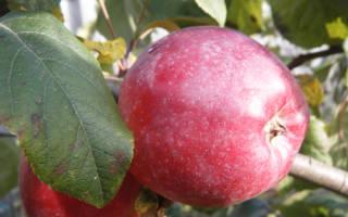 Либерти сорт яблок
