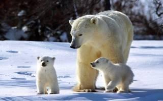 Белый медведь охотится