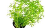 Амбулия аквариумное растение