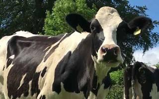 Почему корова кашляет