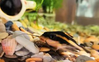 Платидорасы в аквариуме