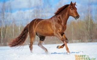 Порода лошадей буденновская