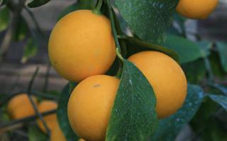 Лимон ташкентский описание