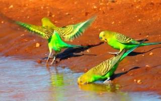 Попугаи в Австралии