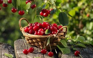 Сорта вишни для средней полосы