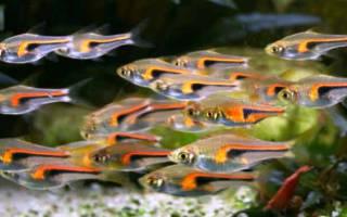 Аквариумные рыбки расборы