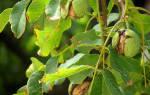 Болезни ореха грецкого