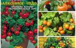 Балконное чудо помидоры