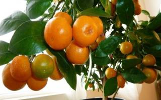 Обрезка мандаринового дерева