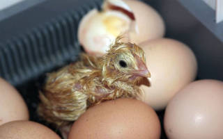 Как хранить инкубационные яйца
