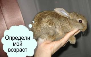 Как узнать возраст кролика