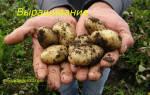 Картофель посадка и уход