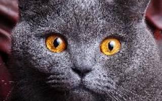 Британские короткошерстные коты