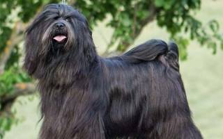 Порода собак тибетский терьер