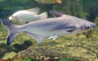 Аквариумный акулий сом
