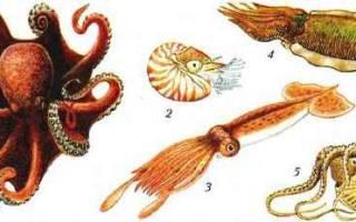 Головоногие моллюски размножение