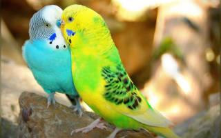 Цвета попугаев волнистых