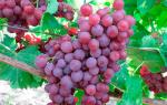 Памяти учителя сорт винограда