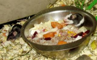 Что едят домашние мыши