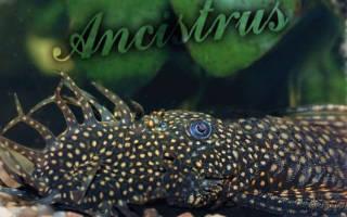 Сомик аквариумный анциструс
