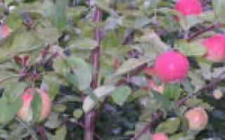 Яблоня легенда описание сорта