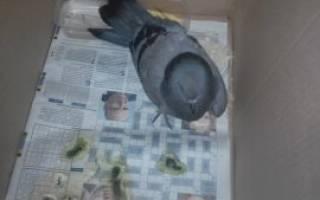 Перелом крыла у голубя