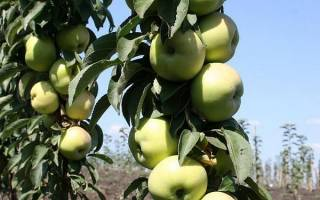 Яблоня президент описание сорта