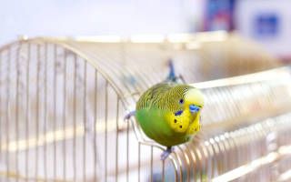 Как дрессировать попугая волнистого?
