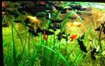 Рыбка черная моллинезия