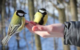 Можно ли кормить птиц рисом