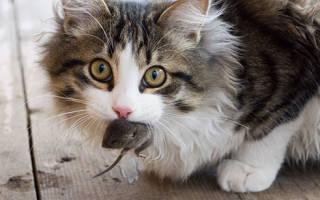Кот ловит мышей