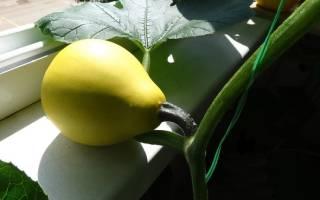Вырастить тыкву на балконе