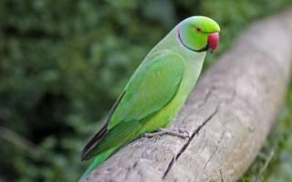 Самка ожерелового попугая