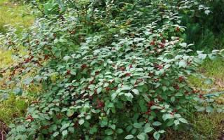 Карликовые сорта вишни