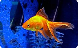 Уход за золотыми рыбками