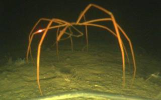 Гигантский морской паук