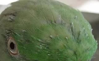 Линька у попугаев волнистых