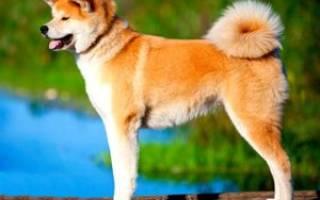 Породы собаки хатико