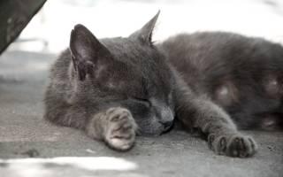 Серая кошка порода
