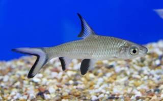 Аквариумная рыбка балу