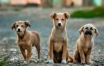 Порода собаки дворняжка