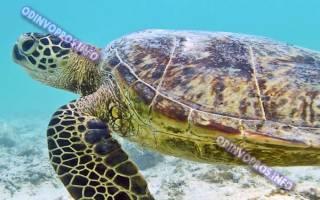 Черепаха сколько живет
