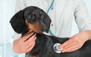 Прививки щенкам таксы