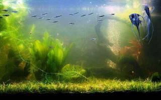 В аквариуме зеленеет вода