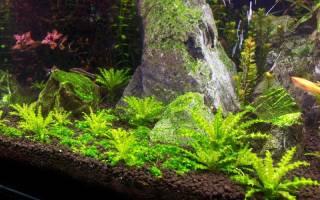 Октопус растение аквариумное