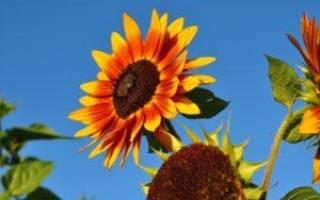 Цветы как подсолнухи