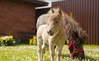 Самые маленькие лошади