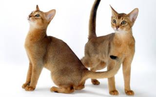 Абиссинская кошка сколько живут