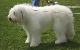 Русская овчарка фото собак