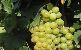 Шасла рамминга виноград
